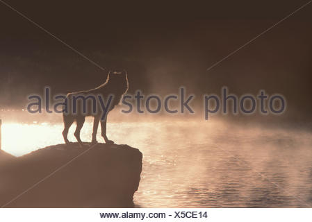 Silhouette of Gray Wolf (Canis lupus) standing on a rock by the Yellowstone River. Yellowstone National Park, USA, - Stock Photo