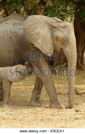 African Elephant with suckling calf, Mana Pools, Zimbabwe - Stock Photo