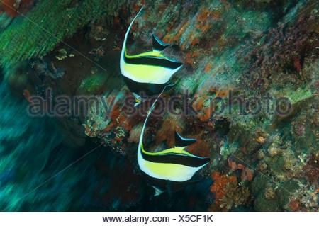 Longfin bannerfish, Heniochus acuminatus, swim over a coral ledge. - Stock Photo