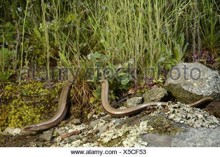 Eastern slow worm, blindworm, slow worm (Anguis fragilis colchica, Anguis colchica), female winding on the ground, Bulgaria, Biosphaerenreservat Ropotamo - Stock Photo