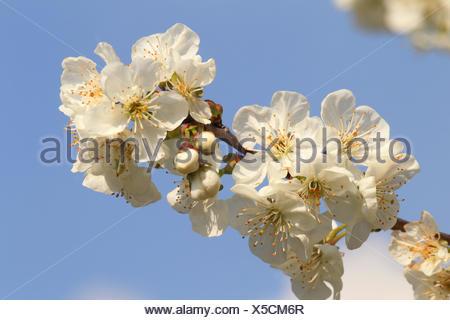 Cherry tree, blossoming, - Stock Photo