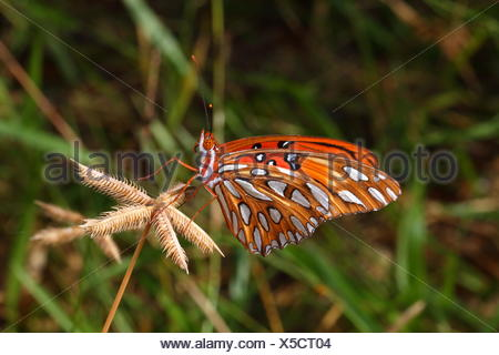 Close up of a gulf fritillary or passion butterfly, Agraulis vanillae. - Stock Photo