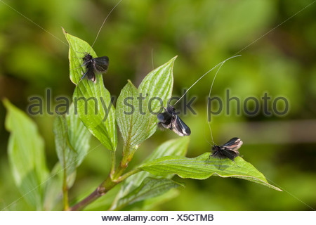 Green Longhorn, Green Long-horn (Adela reaumurella, Phalaena reaumurella, Phalaena viridella, Adela viridella), males on leaves, Germany - Stock Photo
