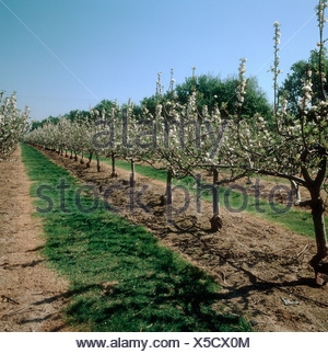 Apple orchard of small trees in blossom Kent - Stock Photo