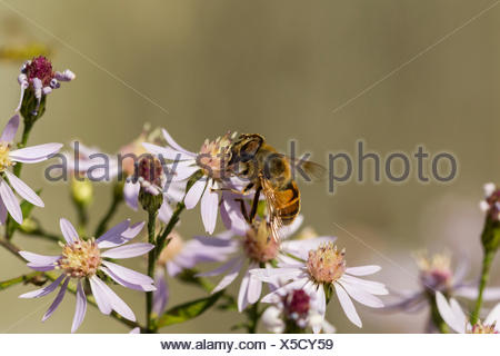 Drone Fly (Eristalis tenax), a European hoverfly on New England Aster (Symphyotrichum novae-angliae) in Toronto, Ontario, Canada - Stock Photo