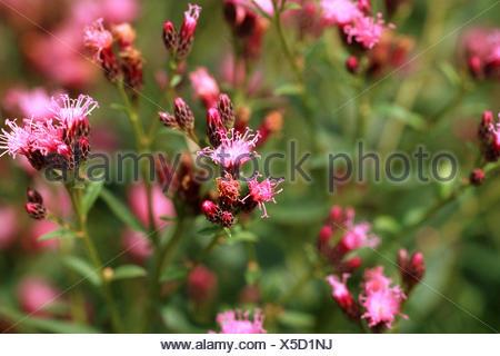 saw-wort (Serratula tinctoria), blooming - Stock Photo