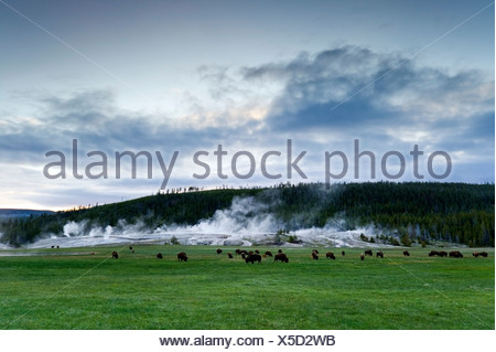 A herd of buffalo graze in front of Upper Geyser Basin in Yellowstone National Park, Wyoming. - Stock Photo