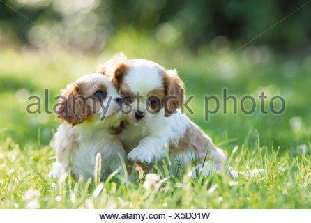 Cavalier King Charles Spaniel.Two puppies sitting on a meadow. Germany - Stock Photo