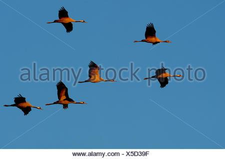 Crane, Grus grus, birds, cranes, gray cranes, wading bird, Mecklenburg-West Pomerania, bird migration, Germany - Stock Photo
