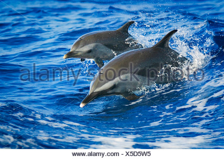 Pantropical Spotted Dolphins, Mother and Calf, Stenella attenuata, Big Island, Kona Coast, Hawaii, USA - Stock Photo
