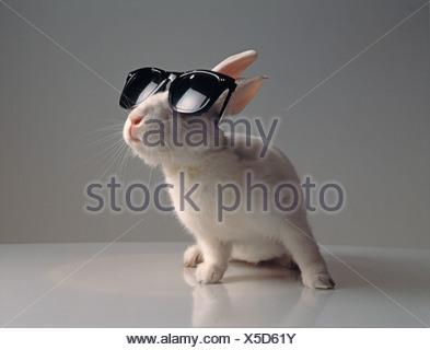Studio image of pet white rabbit wearing sunglasses. - Stock Photo
