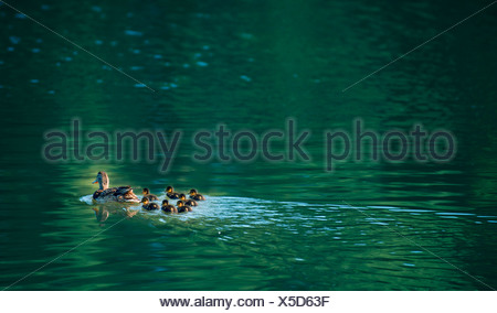 Mallard (Anas platyrhynchos), mother duck with ducklings on the water - Stock Photo
