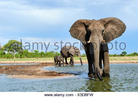 African elephant group (Loxodonta africana) drinking at a watehole. Hwange National Park, Zimbabwe. - Stock Photo