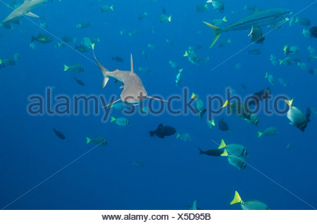 Galapagos Shark off of Wolf Island, Galapagos Islands, Ecuador, South America. - Stock Photo