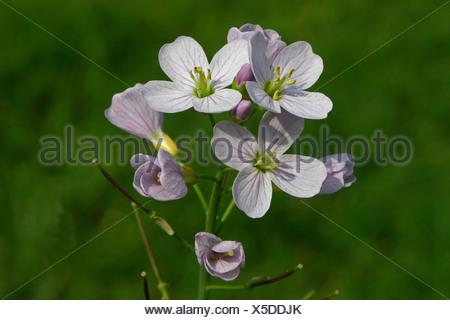 close up van bloeiwijze met knoppen, bloemen en jonge hauwen - Stock Photo