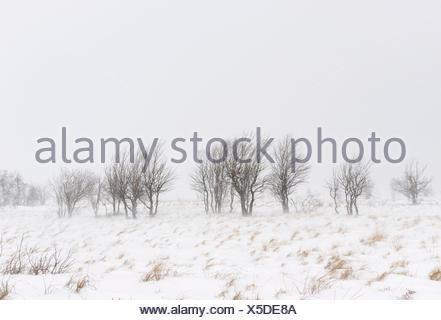 Belgium, High Fens, Hautes Fagnes, Hohes Venn-Eifel Nature Park, trees in a blizzard, - Stock Photo