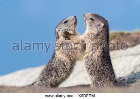 Mountain Marmots (Marmota marmota), two young animals playing, Hohe Tauern National Park, Carinthia, Austria - Stock Photo
