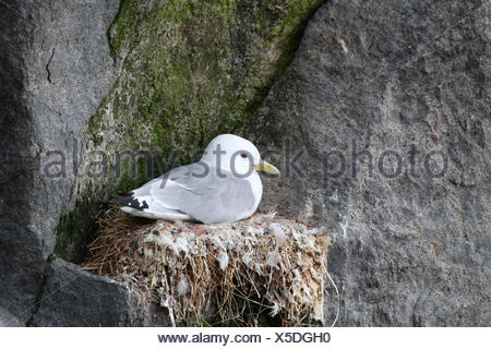 Black-legged kittiwake (Rissa tridactyla) on nest, bird cliffs, Ekkerøy, Varanger, Norway - Stock Photo