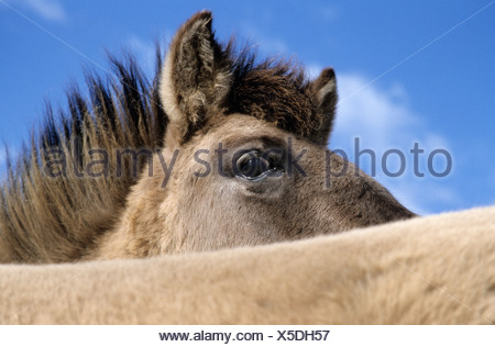 konik, stallion tarpan, equus ferus gmelini - Stock Photo