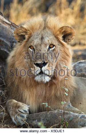 African Lion (Panthera leo), adult male, Ruaha National Park, Tanzania, East Africa, Africa - Stock Photo