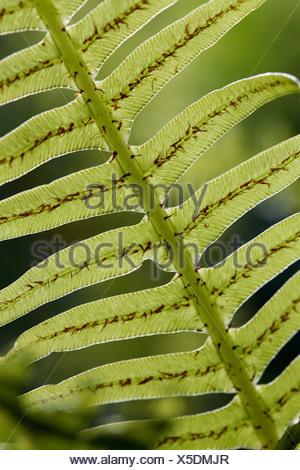 Close-up of Fishbone Fern Nephrolepis cordifolia  Tasmania, Australia - Stock Photo