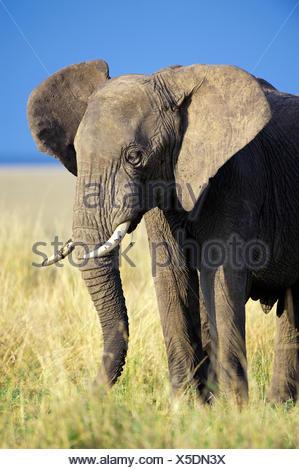African savannah elephant bull (Loxodonta africana), Samburu National Park, Kenya, East Africa - Stock Photo