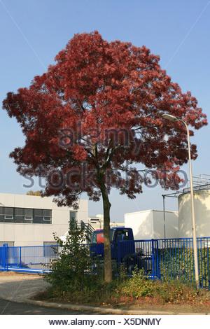 De smalbladige es (Fraxinus angustifolia) is een plant die behoort tot de olijffamilie (Oleaceae). De boom komt van nature voor in Zuid-Europa en van Noord- en Oost-Afrika tot in Iran. In Nederland wordt de boom sinds de negentiende eeuw aangeplan; Narrow - Stock Photo