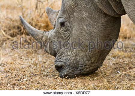 white rhinoceros, square-lipped rhinoceros, grass rhinoceros (Ceratotherium simum), grazing, South Africa, Krueger National Park - Stock Photo