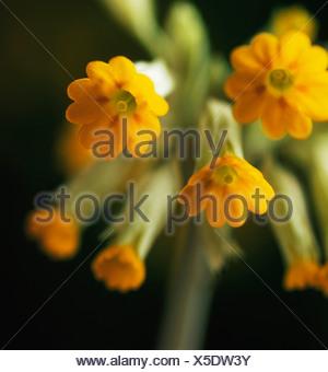 Primula veris, Cowslip, Yellow flower subject, Black background - Stock Photo