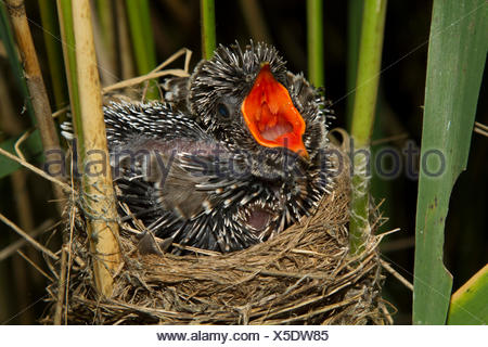 Eurasian cuckoo (Cuculus canorus), seven days old cuckoo in a reed warbler nest, threatening, Germany, Bavaria, Oberbayern, Upper Bavaria - Stock Photo