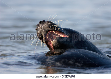 gray seal (Halichoerus grypus), two animals fighting in shallow water, Germany, Schleswig-Holstein, Heligoland, Heligoland - Stock Photo