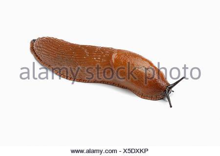 Single slug on white background - Stock Photo