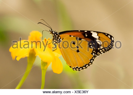 Close-up of a Plain Tiger butterfly (Danaus chrysippus) - Stock Photo