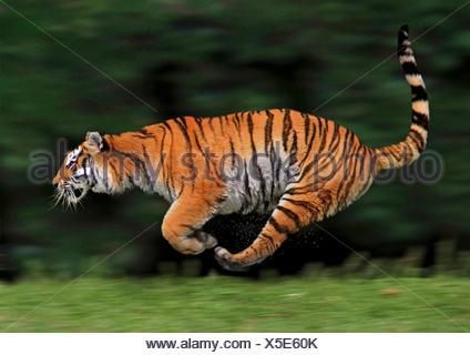 tiger (Panthera tigris), lateral running, action - Stock Photo
