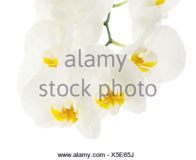 White tender orchid flowers isolated on white background - Stock Photo