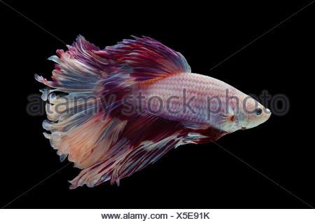 Betta Siamese fighting fish - Stock Photo