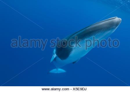 Dwarf minke whale (Balaenoptera acutorostrata) portrait, Queensland, Australia. Endangered species. - Stock Photo
