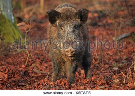 wild boar, pig, wild boar (Sus scrofa), tusker in winter, Germany, Baden-Wuerttemberg - Stock Photo