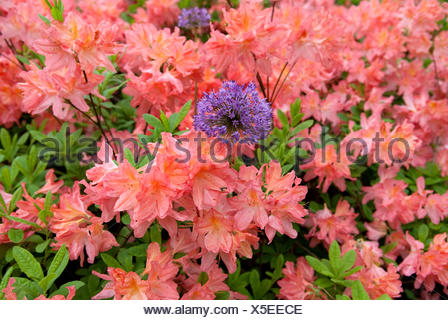 rhododendron (Rhododendron luteum 'Dante Gabriel Rosetti', Rhododendron luteum Dante Gabriel Rosetti), cultivar Dante Gabriel Rosetti - Stock Photo