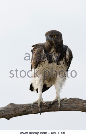 Martial eagle, Polemaetus bellicosus, perching on a tree branch. - Stock Photo
