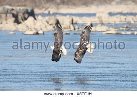 Pair of majestic Bald Eagles (haliaeetus leucocephalus) in flight fighting for a fish - Stock Photo