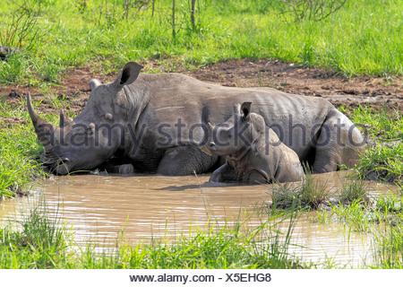 White Rhinoceros or Square-lipped rhinoceros (Ceratotherium simum), female and calf in water hole, Sabi Sabi Game Reserve - Stock Photo