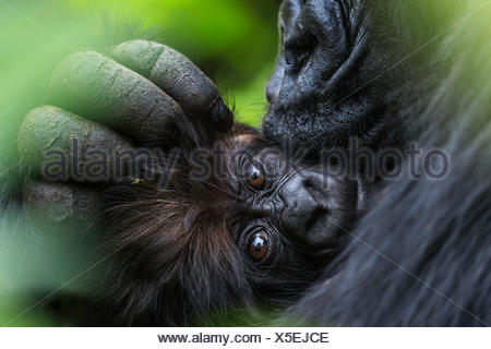 A mountain gorilla mother cuddles her three-month-old infant. - Stock Photo