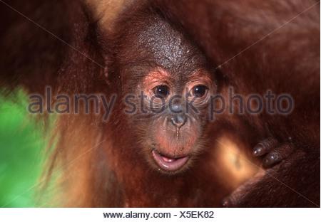 Close-up Portrait of a Baby Orang-Utan (Pongo pygmaeus) - Stock Photo