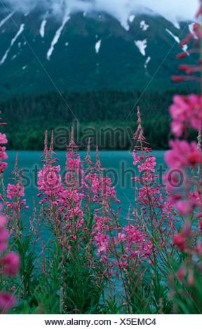 fireweed, blooming sally, rosebay willow-herb, great willow-herb (Epilobium angustifolium, Chamaenerion angustifolium), blooming in front of mountain lake, USA, Alaska, Kenai National Wildlife Refuge - Stock Photo