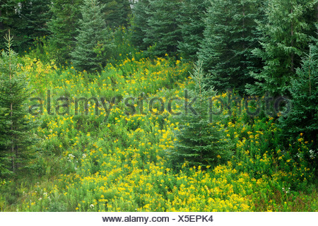White spruces on slope, with goldenrods - Stock Photo