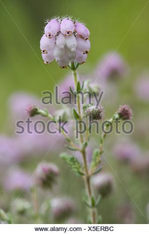 cross-leaved heath, erica tetralix Stock Photo