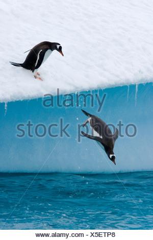 Gentoo penguins (Pygoscelis papua) jumping off an iceberg - Stock Photo