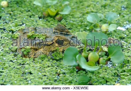spectacled caiman (Caiman crocodilus), portrait, hidden between water plants (Eichhornia, Salvinia) - Stock Photo
