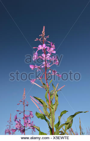 Rosebay Willowherb - Chamerion angustifolium - Stock Photo